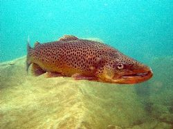Trout enjoying life in Capernwray by Steve Laycock